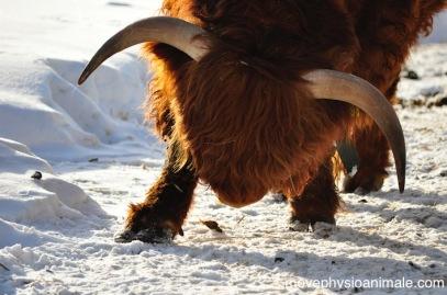 physiothérapie pour vaches, chèvres, lamas, moutons, alpagas...